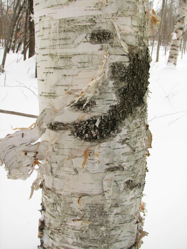 tree scar